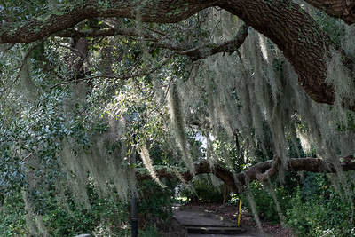 Oak Trees provide support for the Spanish Moss at the Camellia Garden