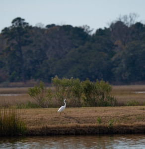 Great Egret, hanging out on the bank above the White Pelicans.