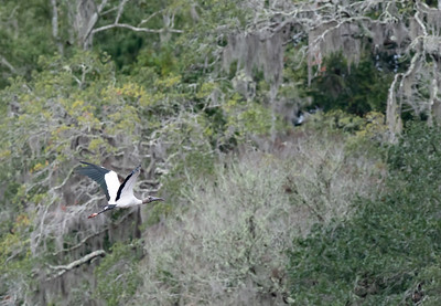 Wood Stork heads into the trees