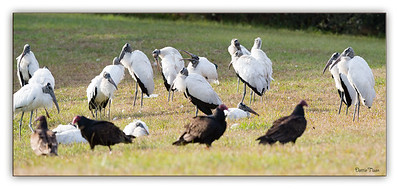 Wood Storks and Turkey Vultures