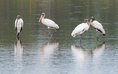 A family of Wood Storks