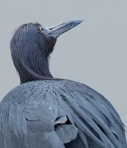 Little Blue Heron looks to the sky.