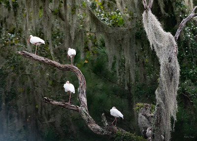 White Ibis; great Yoga poses