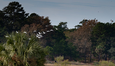 Suddenly, the White Pelicans took flgiht.
