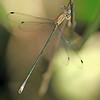 (Lestes forficula): Juvenile