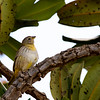 Grassland Yellow Finch