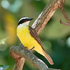 Bentevi (Great Kiskadee)