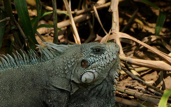 Iguana. Amazon EcoPark Jungle Lodge, Rio Negro, Brazil.