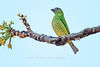 Female Swallow-tailed Tanager