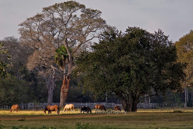 Ranch horses, Caiman Ranch