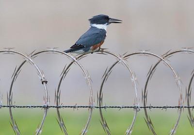 The Kingfisher begins to speak.