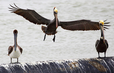 Juvenile Brown Pelican on left -- its parents on the right.