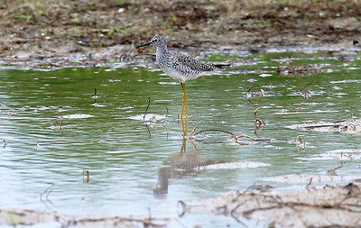 Lesser Yellow Legs, showing off its camouflage