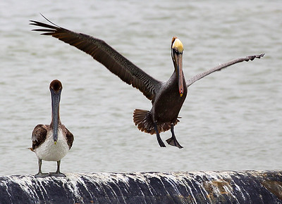Papa Pelican lands next to junior.