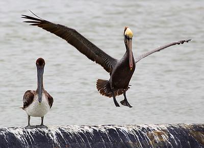 Papa Pelican lands next to junior.