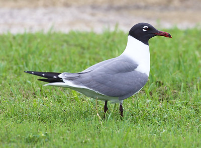 A Laughing Gull in formal presentation