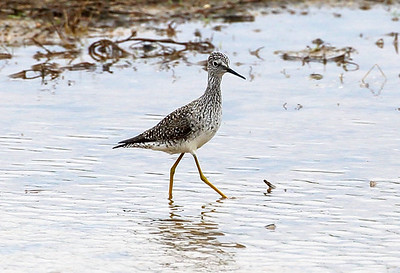 Lesser Yellow Legs near Quintana Beach