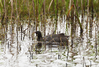 An American Coot in the rushes.
