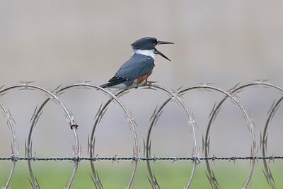 The Kingfisher shouts!
