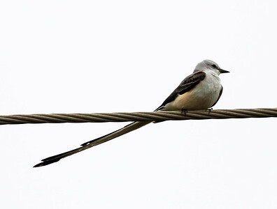 First Bird:  A Scissor-tailed Flycatcher on a power line