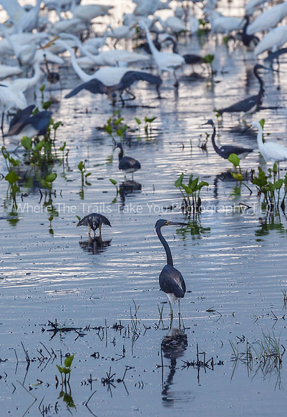 76  Herons and Egrets at Olney Pond