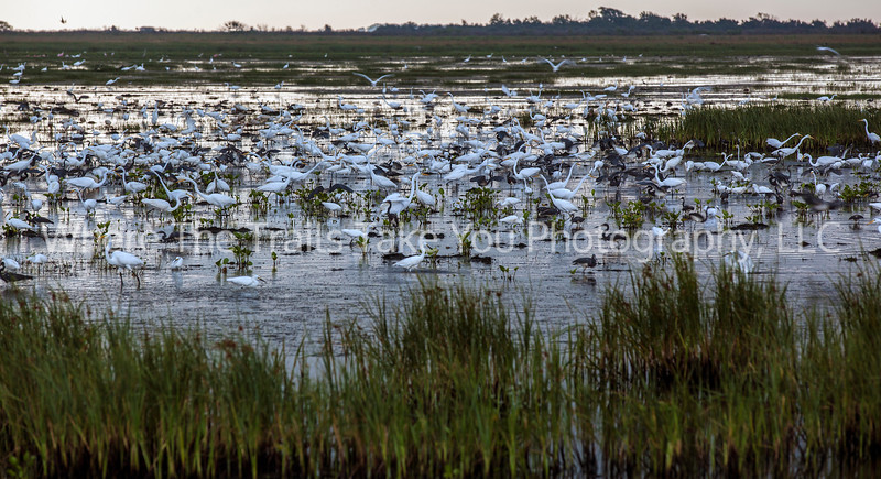 74  Herons and Egrets at Olney Pond