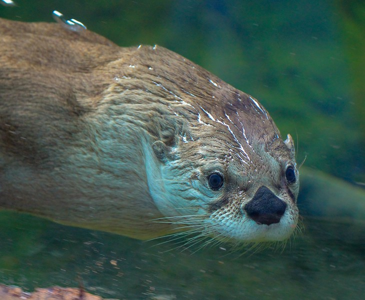 This Otter was a playful and social showboat.