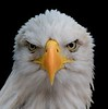 Bald Eagle head on