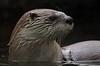 zzBrazos Bend, Zoo, 1-8-2016 1422A Otter