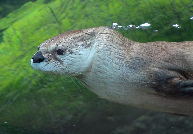 zzBrazos Bend, Zoo, 1-8-2016 1367A Otter