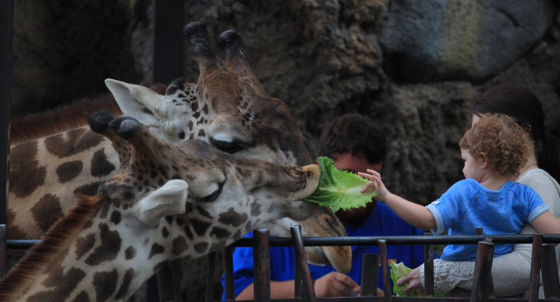 Giraffes at public feeding time