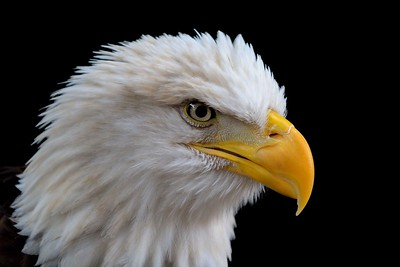 Remaining photos are from the Houston Zoo. An injured Bald eagle in a dark cage setting finally gave me the Eagle head shot I have always wanted.