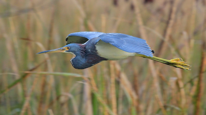 Tr-colored Heron in flight over Elm Lake.