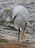 zzBrazos Bend, Zoo, 1-8-2016 317A Snowy Egret with crawfish
