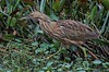 The wondrous plumage of an American Bittern's looks like it was designed by a committee of about 6 quilting bee teams that never came to an agreement.