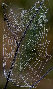 Morning dew on spider web beside 40 Acre lake.