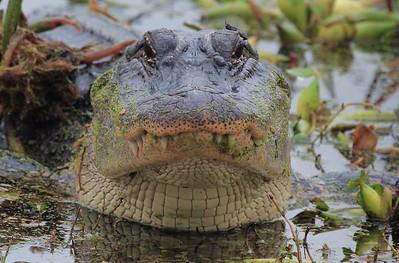 Alligator approximately six feet long. Distance 25 feet.