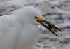 zzBrazos Bend, Zoo, 1-8-2016 355B Snowy Egret with crawfish