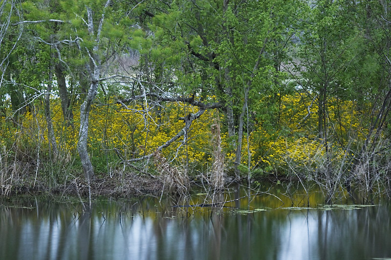 Yellow Flowers - Brazos Bend State Park