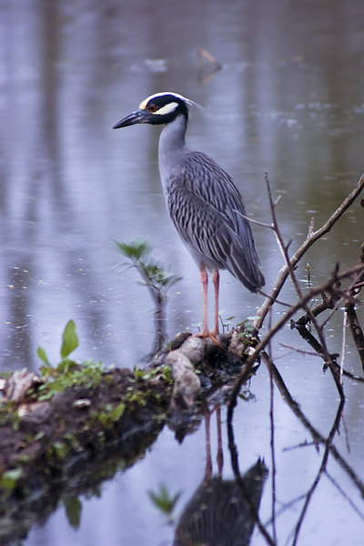 Yellow Crowned Night Heron - Brazos Bend State Park