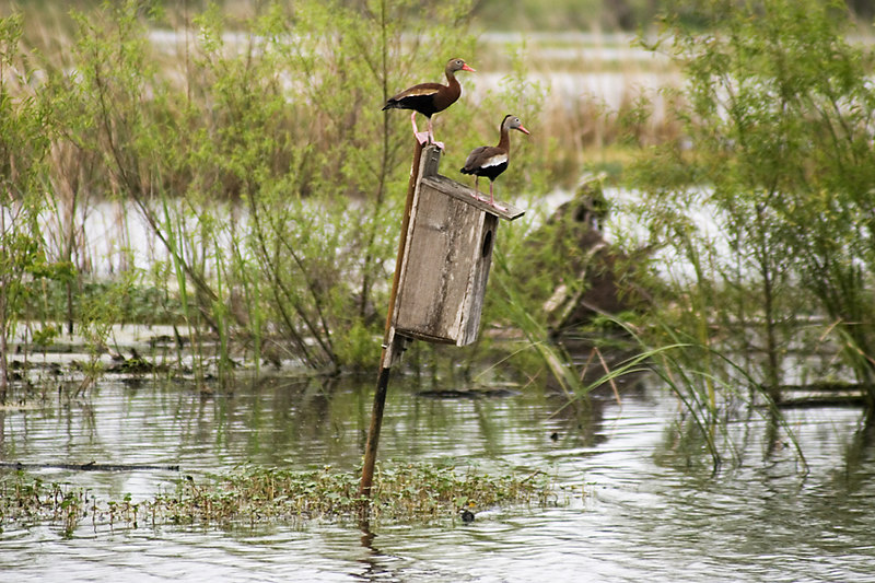 Black Bellied Whistling Ducks - Brazos Bend State Park