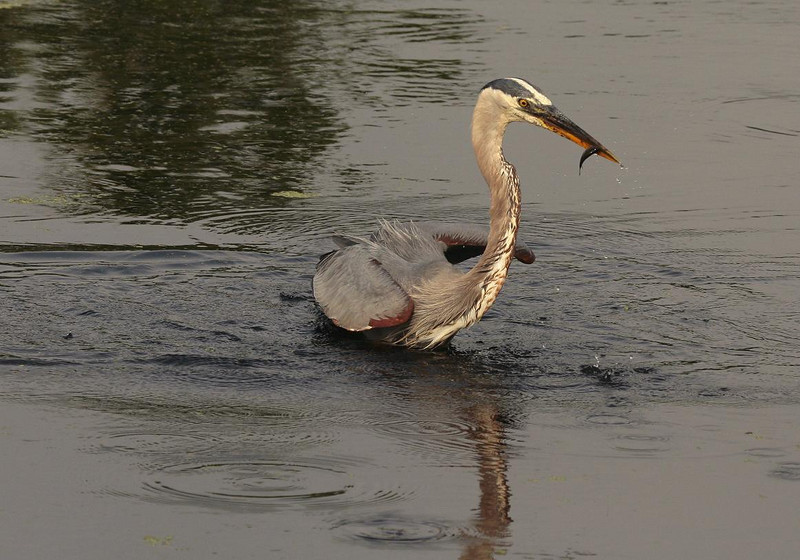 Photo #5. The Heron turns to get to dry land to consume the fish.