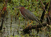 One of the first sightings of the day was a real close Green Heron that was relatively unconcerned of our presence. It was a good sign of things to come, as the wildlife at Brazos Bend has never been more approachable (to me anyway) than on this day. I would conservatively guess we saw over 50 Green Herons in 6 hours at varied distances, and perhaps the same number of Yellow-crowned Night Herons.