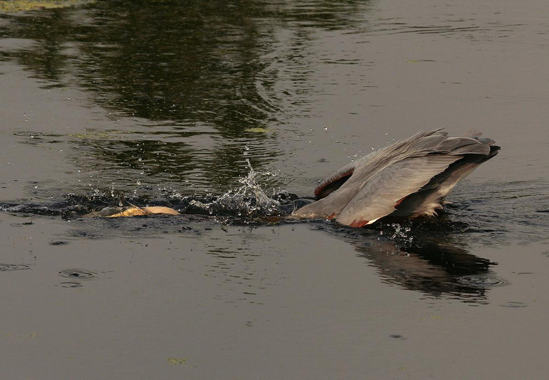 Photo #3. The Heron did a nice job of keeping its wings dry during the strike. The speed of the strike is impressive.