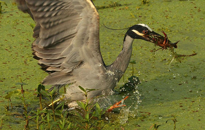 First of 3 photos. This Yellow-crowned Night Heron nailed a crawfish in shallow water.