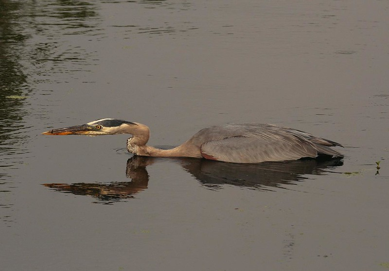 Photo #2. The Heron spots something. This picture is not stretched-the Heron was laid out this way to conceal its approach.