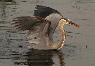 Photo #8. The Heron prepares to take the a short flight to dry land.