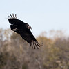 Black vulture, Brazos Bend State Park, February 3, 2013
