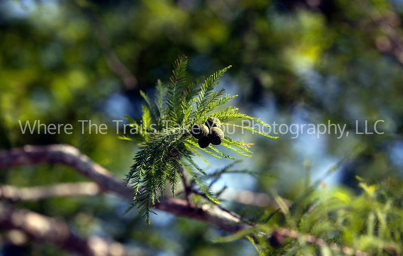 69  Bald Cypress Nuts or Seeds