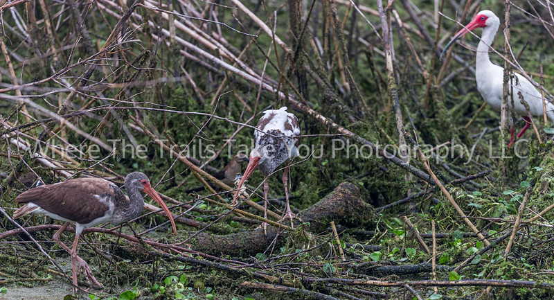Three Ibis And A Frog